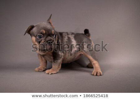 bulldogs are relaxing in a black photo studio stock photo © vauvau
