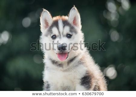 Aranyos husky kutyakölyök kutya gyönyörű izolált Stock fotó © svetography