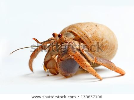 caranguejo · arte · bocado · concha · marinha - foto stock © bluering