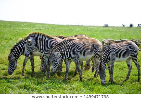 zebras herd grazing in savannah at africa Stock photo © dolgachov