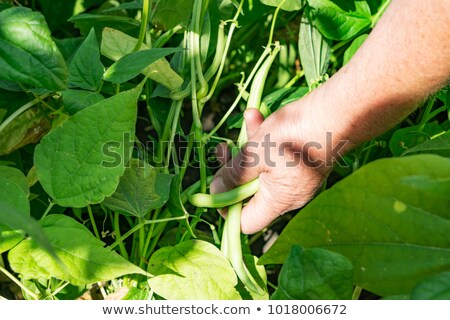 young woman collecting pods. Stock photo © IS2