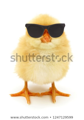 Little yellow chick in black glasses Stock photo © liolle