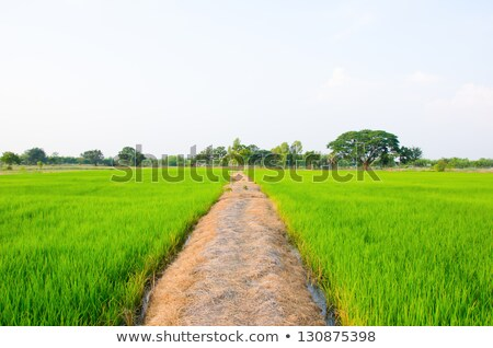 Rice field with footpath Stock photo © Ansonstock