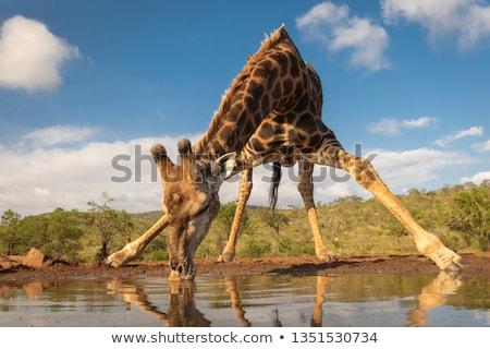 girafa · água · potável · parque · África · do · Sul · natureza · animais - foto stock © vividrange