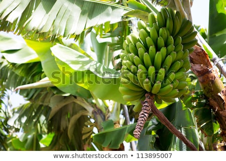 Stockfoto: Banaan · plantage · la · bloem · vruchten