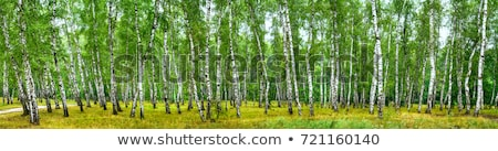 Birch forest on a bright sunny day Stock photo © inxti