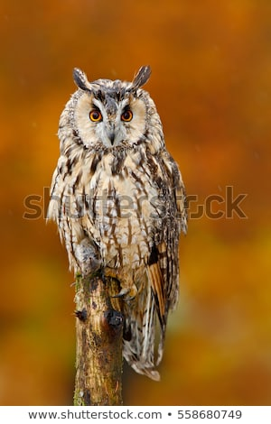 longtemps · chouette · portrait · nature · noir · animaux - photo stock © scooperdigital