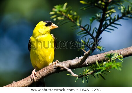 American Goldfinch Perched in a  Tree Stock photo © rhamm