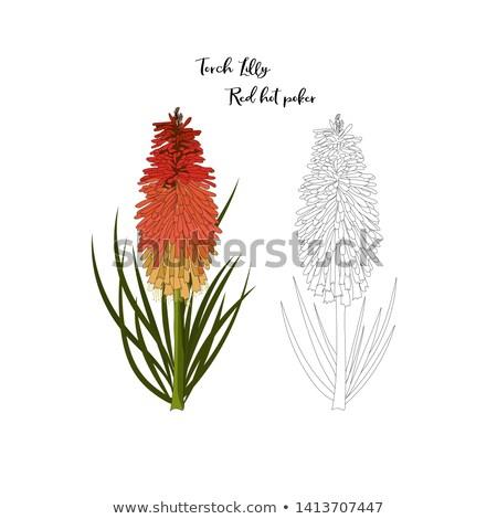 flor · vermelho · quente · pôquer · prímula - foto stock © backyardproductions