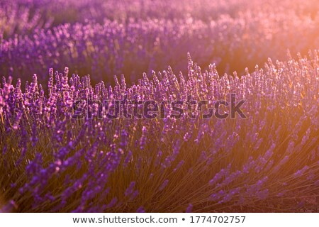 lavender field sunset 04 stock photo © lianem