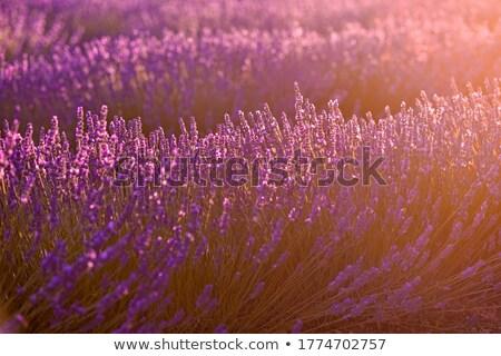 Stok fotoğraf: Gün · batımı · çiçekler · güneş · güzellik · alan