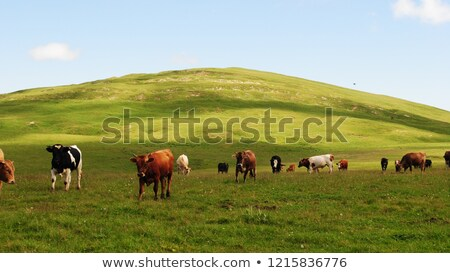 Beautiful sunlit cow Stock photo © olandsfokus