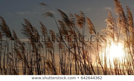lake with cane stock photo © inxti