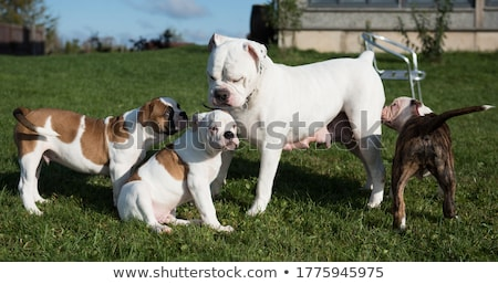 Stock photo: mother and puppies american bulldog