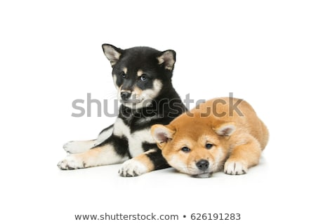 Beautiful shiba inu puppy isolated on white stock photo © svetography