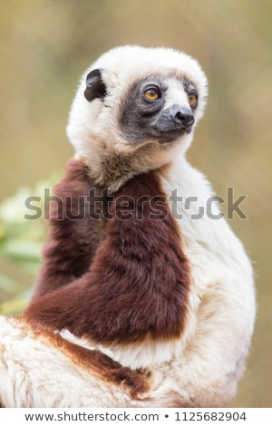 coquerels sifaka posing stock photo © yhelfman