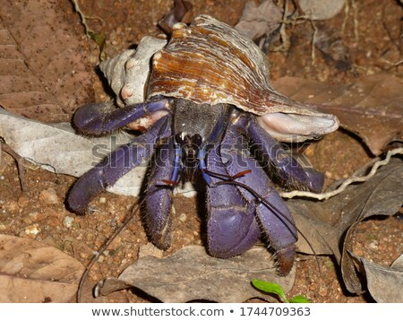 Evil Little Hermit Crab Stock photo © cthoman