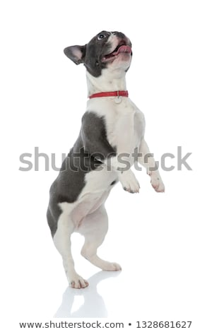 french bulldog puppy with red dog collar looking away stock photo © feedough