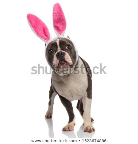 любопытный американский Bunny ушки вверх Сток-фото © feedough