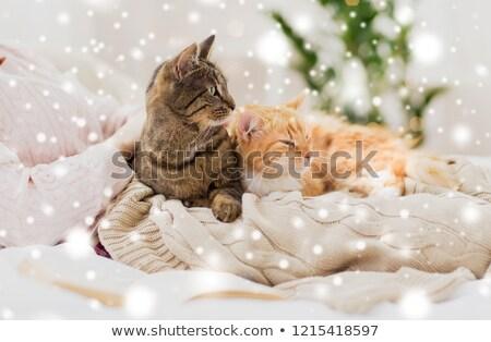 所有者 猫 ベッド 雪 ペット ストックフォト © dolgachov