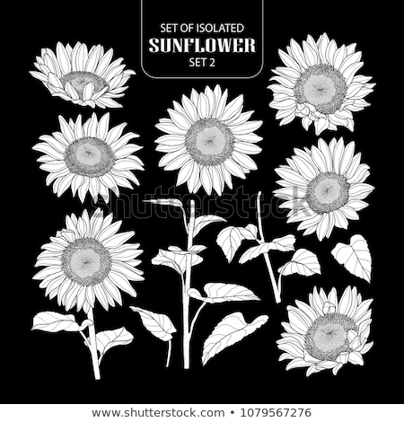 Sunflower Blooming Botanical Nature Flower Vector Stock photo © pikepicture