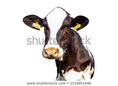 cow pie Stock photo © SimpleFoto