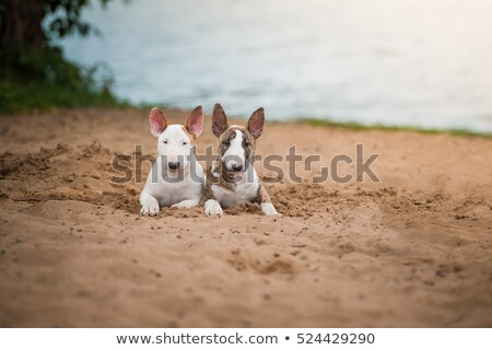 puppy bull terrier Stock photo © cynoclub
