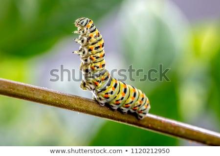 Papilio machaon's caterpillar Stock photo © smithore