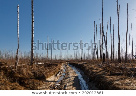 burned forest and road Stock photo © prill