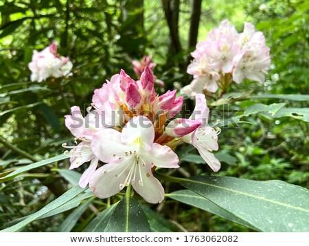 Rhododendron 20 Stock photo © LianeM