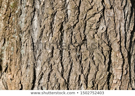 cracked rough bark detail Stock photo © prill