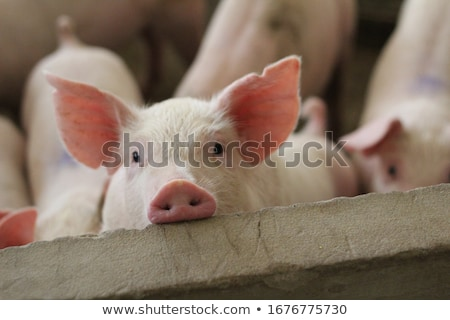 Porc porcherie ferme animaux cage porcelet Photo stock © Ariusz