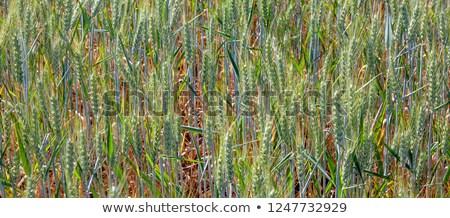 Harmonisch structuur groene mais mooie planten Stockfoto © meinzahn