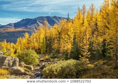 autumn golden larch tree Stock photo © Mikko