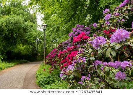 Beautiful, old park with azalea trees Stock photo © Julietphotography