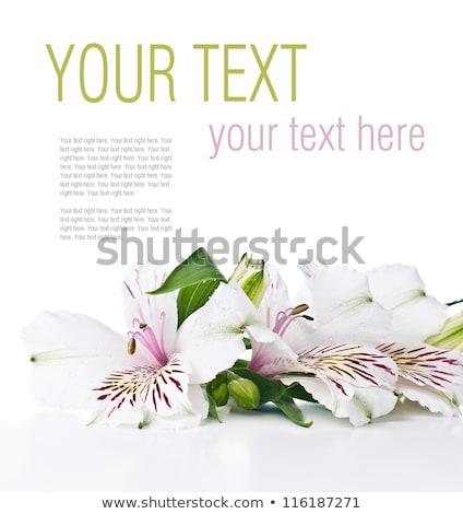 fiore · bianco · pronto · modello · naturale · fresche - foto d'archivio © manera