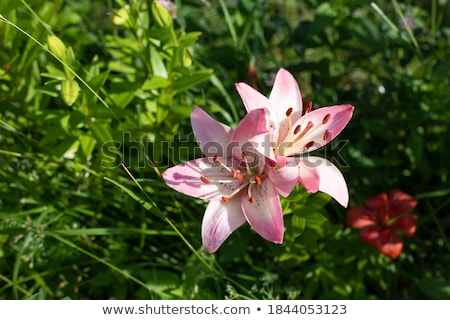 2 Lilies with Copy Space Stock photo © PokerMan