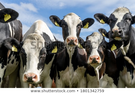 meraklı · sığırlar · çift · meraklı · beyaz · çim - stok fotoğraf © Hofmeester