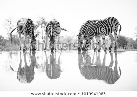 Zebras Drinking Stock photo © fouroaks
