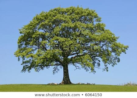 Carvalho árvores primavera azul blue sky céu Foto stock © meinzahn