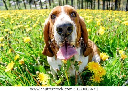 beautyful dog sitting in a white background stock photo © vauvau