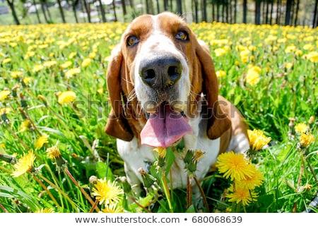 Hund Sitzung weiß Gold Haar glücklich Stock foto © vauvau