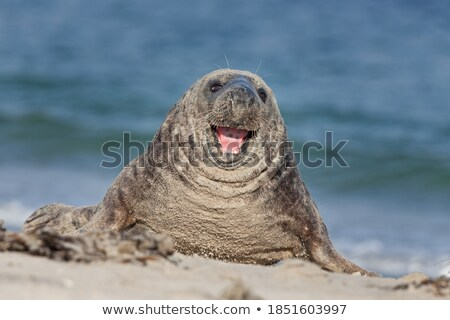 Colony of seals lying on the Beach Stock photo © Klinker