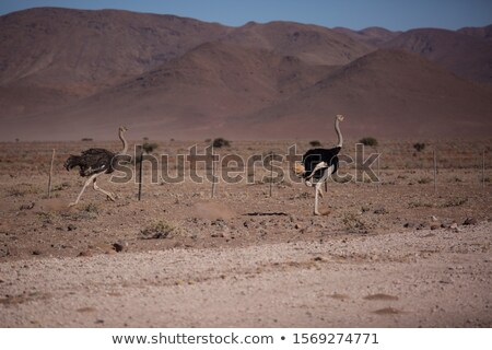 two male ostriches on the road stock photo © simoneeman