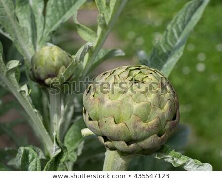 Artichoke plant growing in vegetable garden Stock photo © Klinker