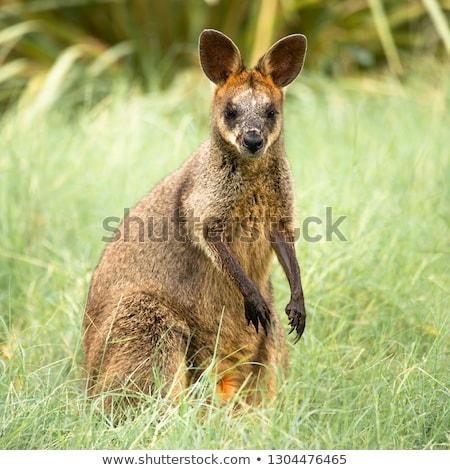 Cangur exterior zi timp australian în aer liber Imagine de stoc © artistrobd