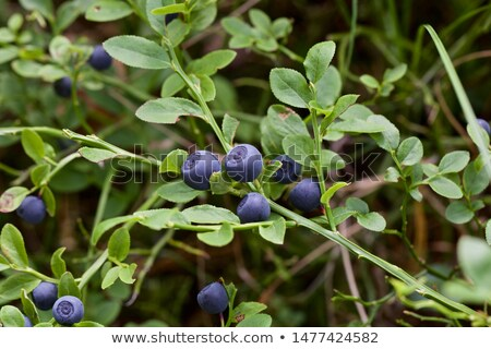 Bilberry vaccinium myrtillus Stock photo © maxsol7