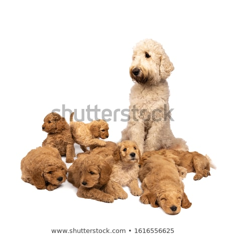 Golden Labradoodle ,isolated on white background. Stock photo © CatchyImages