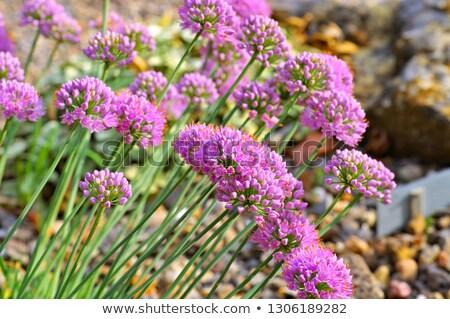 díszítő · zsálya · lila · virág · zöld · tavasz · kert - stock fotó © lianem
