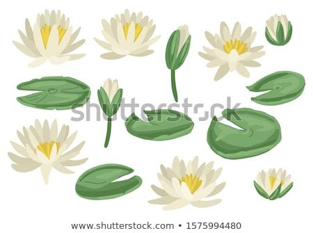 Mocsár liliom virág tükröződés Stock fotó © njnightsky